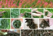 Производство Иван чая в домашних условиях как бизнес