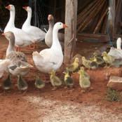 Разведение гусей в домашних условиях для начинающих как бизнес