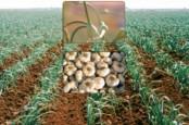 Выращивание чеснока как бизнес в Украине