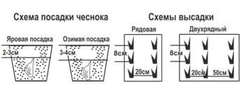 Изображение - Выращивание чеснока как бизнес в украине Shema-posadki-chesnoka-355x126