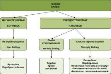 Изображение - Выращивание чеснока как бизнес в украине Sorta-chesnoka-355x237