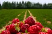 Выращивание клубники как бизнес