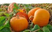 Выращивание тыквы как бизнес
