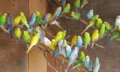 Разведение волнистых попугаев в домашних условиях как бизнес